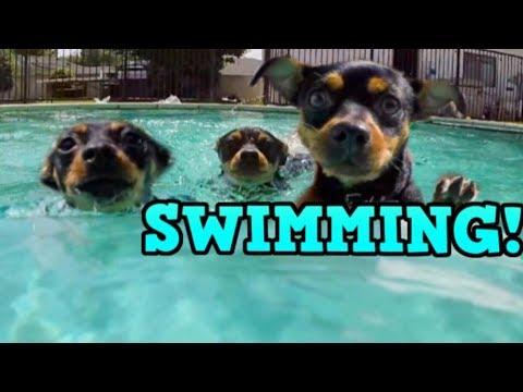 Rocky, Luna, & Lola SWIMMING! - ChiPin (Chihuahua/Miniature Pinscher) Dogs