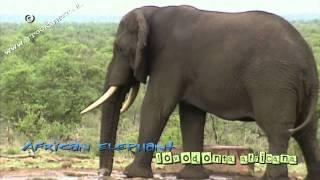 African elephant bull - loxodonta africana #01