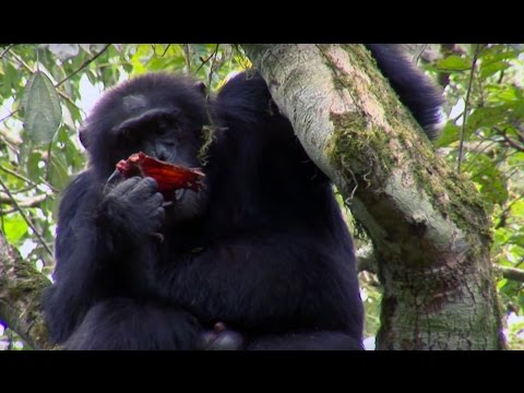 Chimpanzee Cannibalism | Planet Earth | BBC Earth