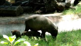 Babirusa kids and mom