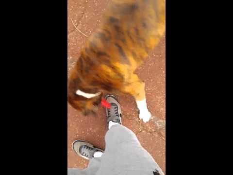 """""""Le regard qui tue de rire """" dog boxer Enddy Facebook / EnddyDogg Boxer"""