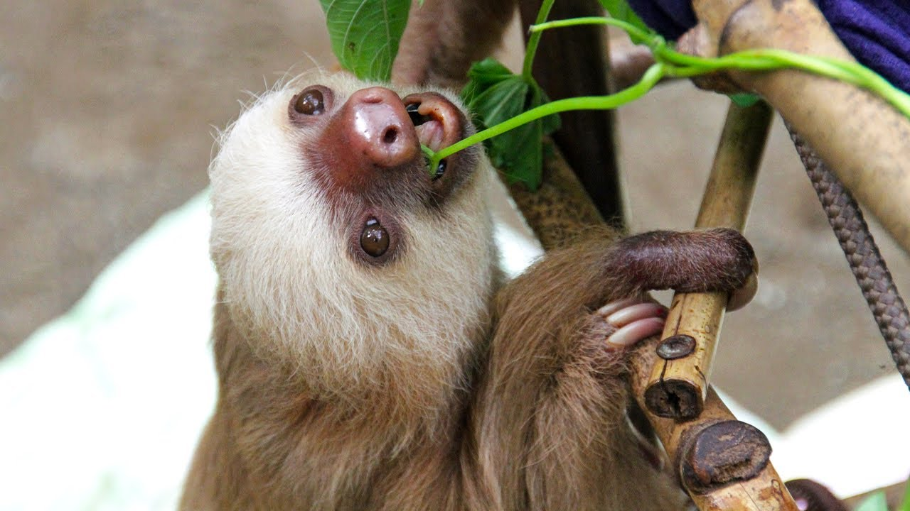 A Sloth S Search For A Mate Slowest Mammal Love Nature Youtube