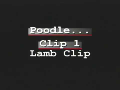 Poodle Grooming - Lamb Clip