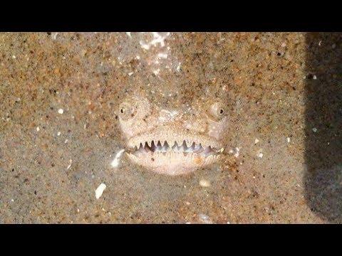 Гуляя по пляжу, парень заметил, что прямо из песка на него смотрит неизвестная ему рыба
