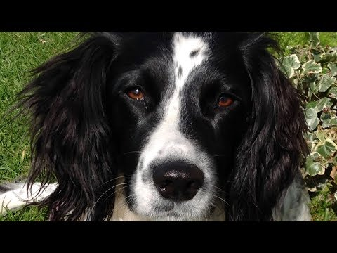 Why To Get An English Springer Spaniel