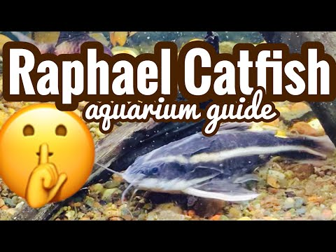 Striped Raphael Catfish Care - Rare Siting?