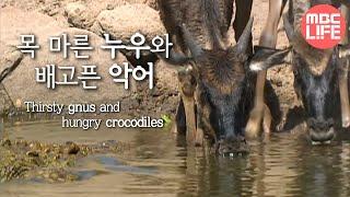 Gnus in the Grumeti River- Wildlife in Serengeti EP02, #03, 그루메티강 누우떼