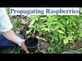 Propagating Raspberries
