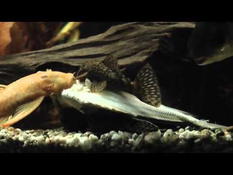 aquarium welse fressen einen fisch o ohne ton so i t. Black Bedroom Furniture Sets. Home Design Ideas