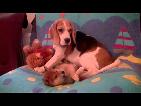 Shiba inu and beagle