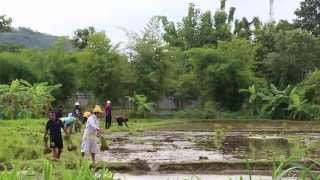 Cultivation of rice in Thailand