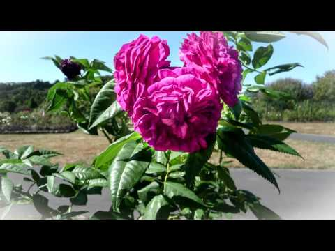 The Last Rose Of Summer - André Rieu