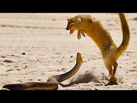Australia's Deadliest Snakes - The Death Adder!