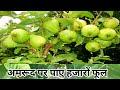 How to get more flowers in guava   अमरूद पर सैकड़ों फूल पाने का तरीका