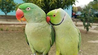 Amazing Talking Parrot Pair!