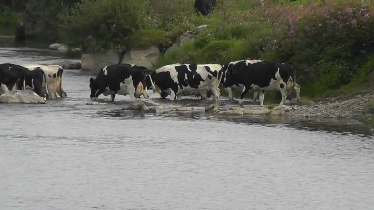 Cows Crossing The River Millking Time Youtube