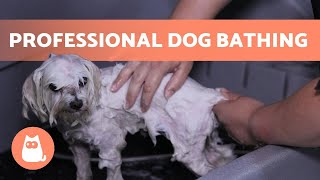 How to BATHE a DOG Properly at HOME  (Professional Technique)