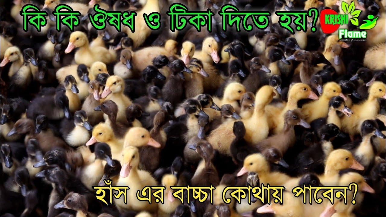 Download প্রথম দিন থেকে হাঁস এর বাচ্চা পালন কিভাবে করবেনএবং খাবার~Duckling baby from day one,bd