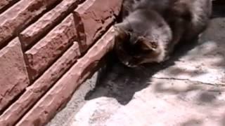 Кошка и ящерица! Смешной видеоролик.