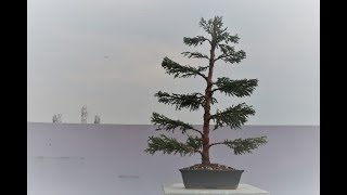 Making Junipur Bonsai | Formal Upright Style