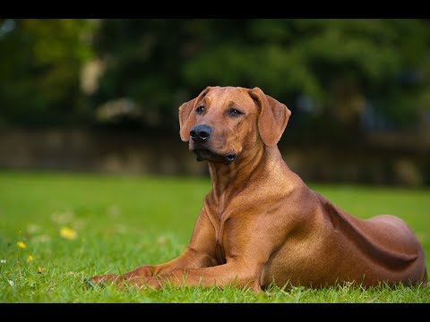 Top 10 Facts about Rhodesian Ridgeback