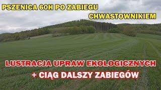 Lustracja upraw ekologicznych i zabiegi chwastownikiem (+ kontrola po zabiegu) | Szlakiem Rolnika