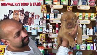 Dog Breed - Know About French Bullmastiff - Bhola Shola