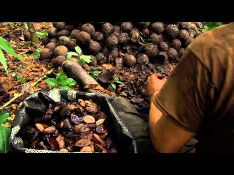 Brazil nuts and selective logging