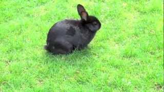 Black Bunny Rabbit, Walking Outside