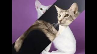 Ориентальные кошки!!)) Очень интересная порода!!)) О уходе , характере вы можете узнать в описаний!!