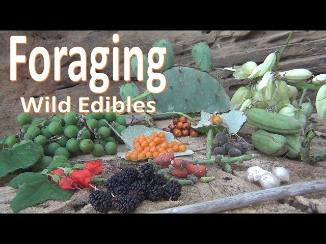 Foraging Wild Food -Survival Texas-