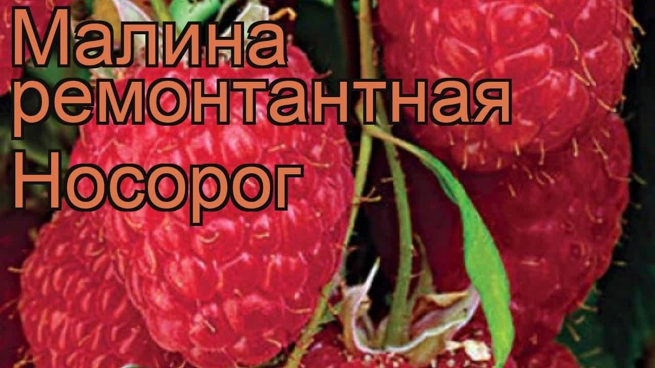 Малина гордость россии была создана заслуженным профессором встисп в. В. Кичиным в 92-м году. Сорт малины гордость россии плодоносит.