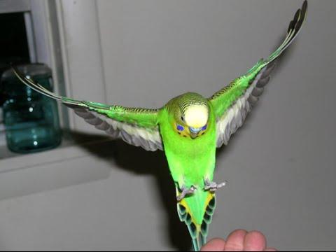Как ВЫПУСТИТЬ ПОПУГАЯ из клетки. РУЧНЫЕ ПОПУГАИ! ВОЛнитый попугай. ожереловый попуай. Жемчужинка