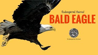 Endangered Animal Bald Eagle: Science and Education of Endangered Animal Bald Eagle