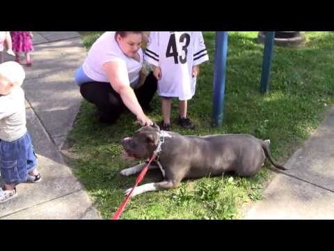115 pound pitbull plays with toddlers at the park