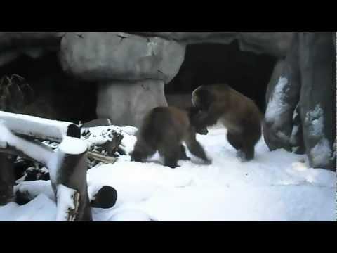 Teenage Grizzly Bears playing at San Diego Zoo
