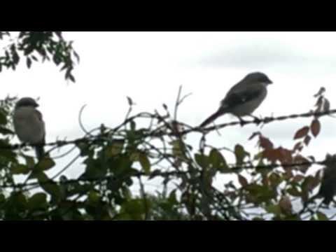 Songbirds of Prey - The Northern Shrike - Houston Texas ( Part 1 )