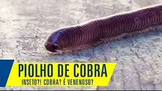 Piolho de Cobra é venenoso? Conheça um pouco mais esse inseto