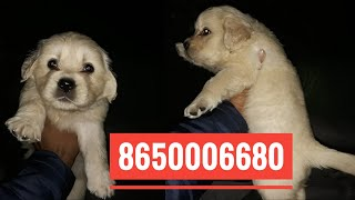 8650006680 Dog for sale , Puppies for sale in Dehradun Uttrakhand Patna Bihar Gurugoan Delhi India