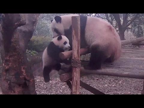 Life lessons, Mama Panda-style