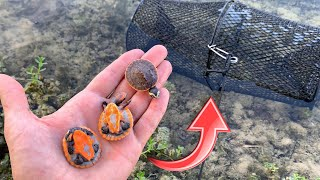 TURTLE TRAP CATCHES COLORFUL BABIES!