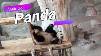 Panda & Pikkupanda - Ähtäri Zoo