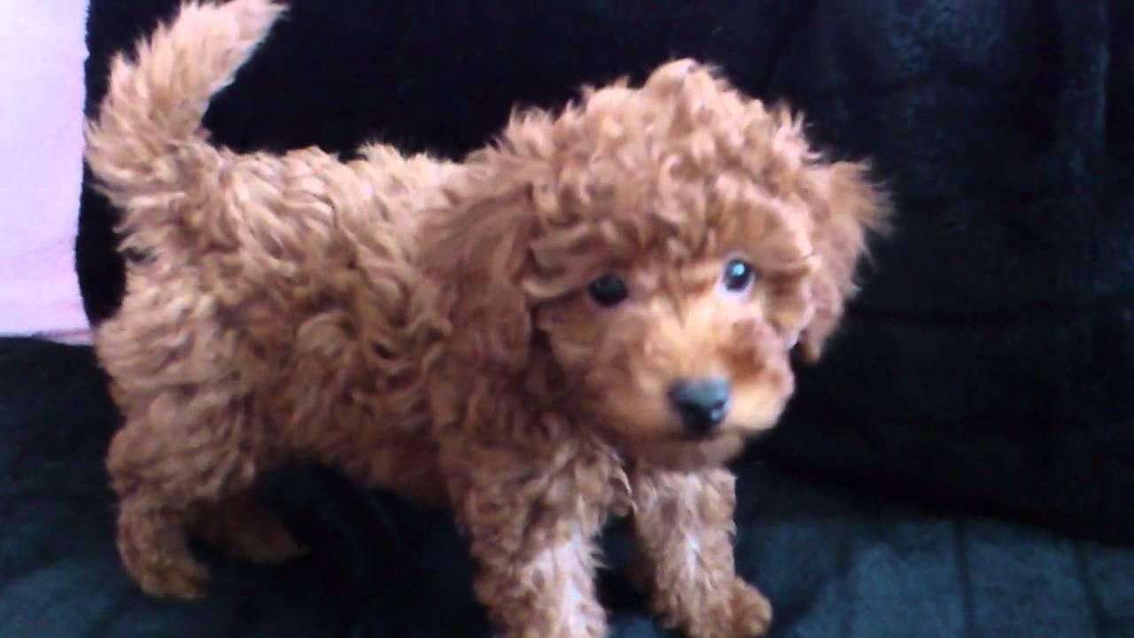Toy Poedel Puppy Happy Op De Bank Youtube