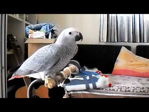 African Grey first clicker training