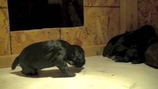 British Cocker Spaniel Puppies 2 Week Old