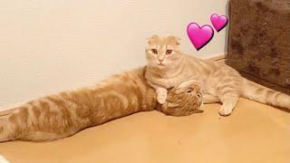兄猫とラブラブ中の短足猫を盗撮してみましたw