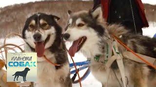 """Гонка на собачьих упряжках """"Берингия"""". Часть 2. Планета собак 🌏 Моя Планета"""