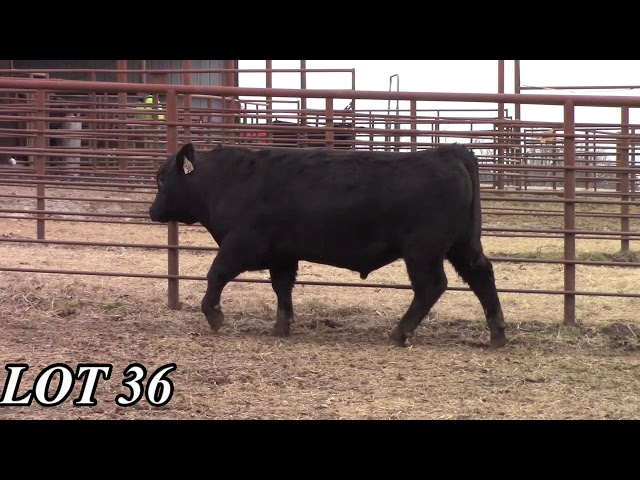 Mead Angus Farms Lot 36