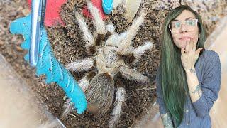poke or BITE? my tarantulas TRY GUMMY WORMS (hornworms)