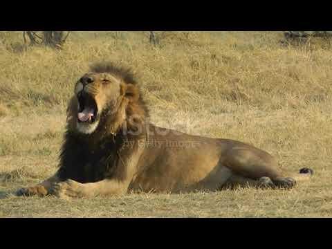 Download lionk & tiger